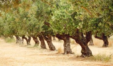 L'olivier dans le bons sens & Lutter contre les ravageurs de l'olive, Editions Equinoxe