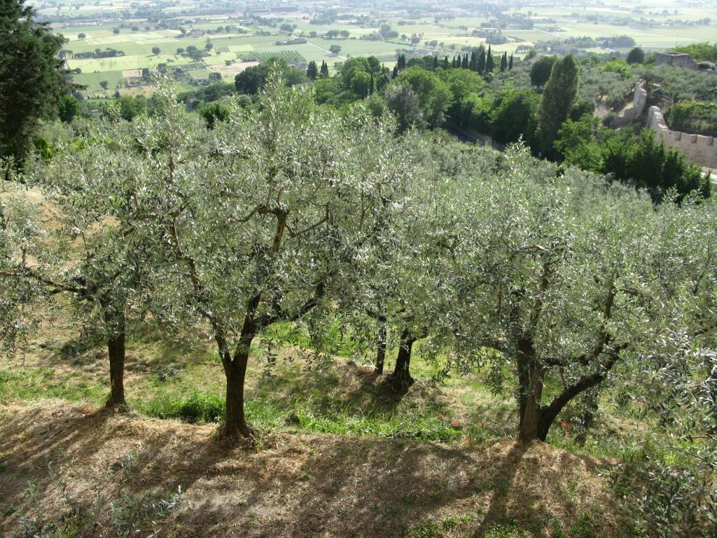 Reconnaître et lutter contre les ravageurs de l'olive avec des traitement adaptés, Editions Edisud